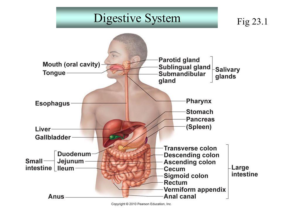 Digestive System Fig ppt download