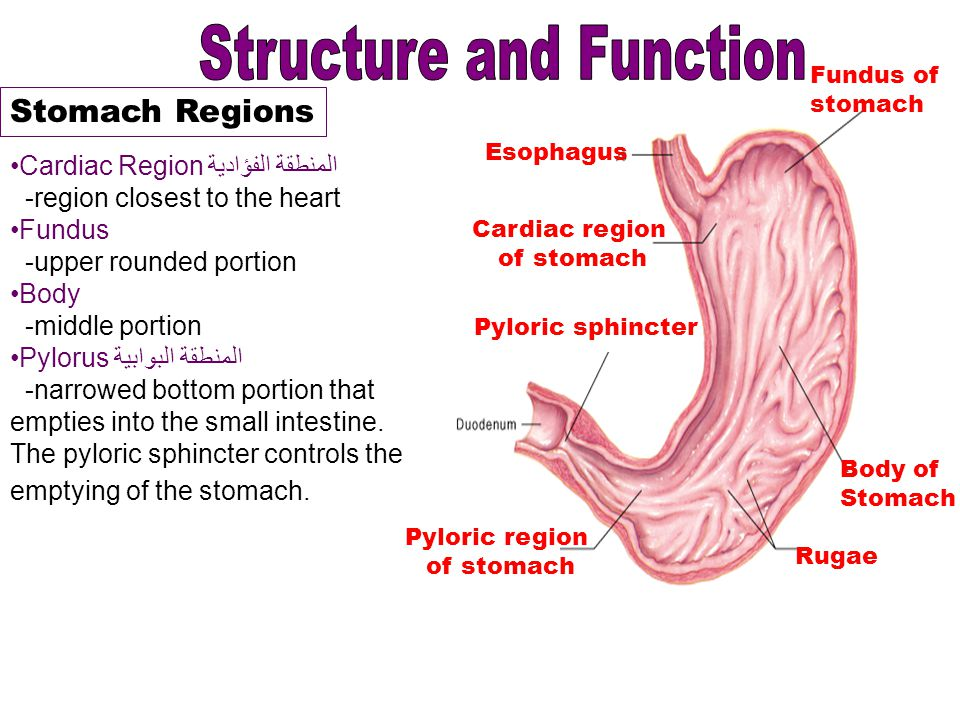 Luxury Pyloric Sphincter Function Photos - Human Anatomy Images ...