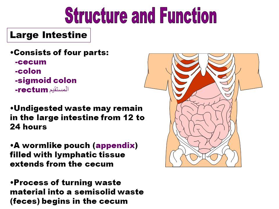 Digestive System Ppt Video Online Download