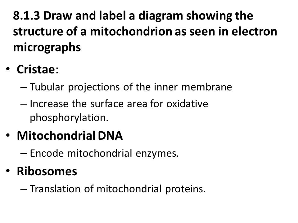 projections on the inner membrane of the mitochondrion