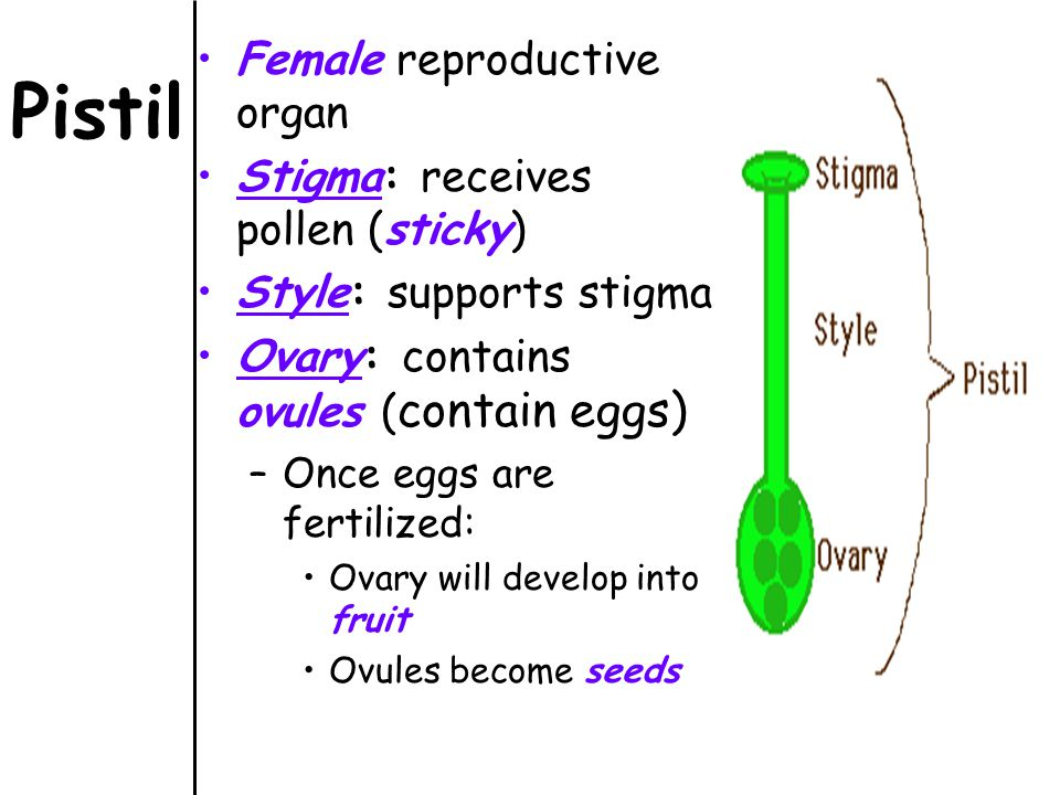 Diagram Of Female Reproductive Parts Of Flower Diy Enthusiasts