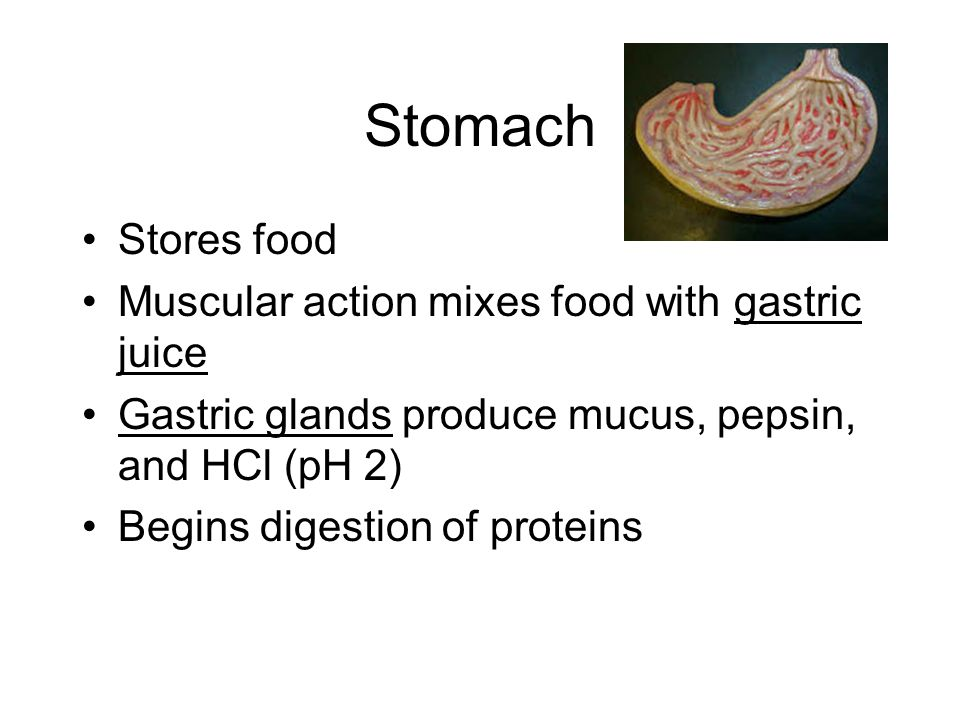 Stomach Stores food Muscular action mixes food with gastric juice