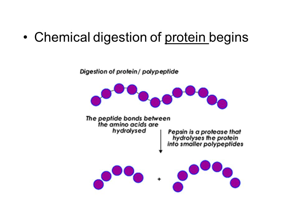Chemical digestion of protein begins
