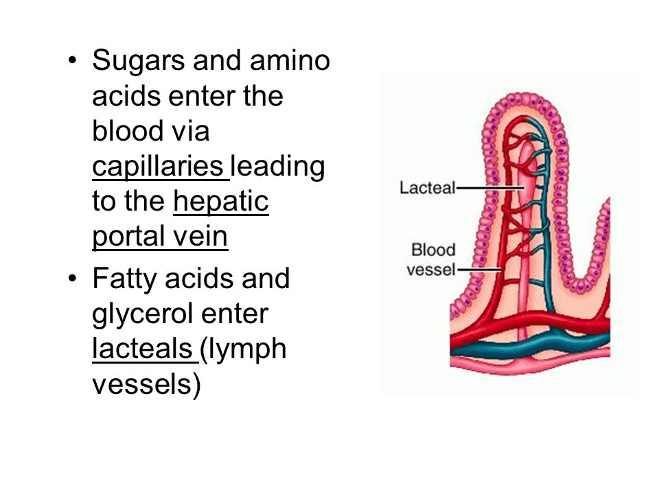 Sugars and amino acids enter the blood via capillaries leading to the hepatic portal vein