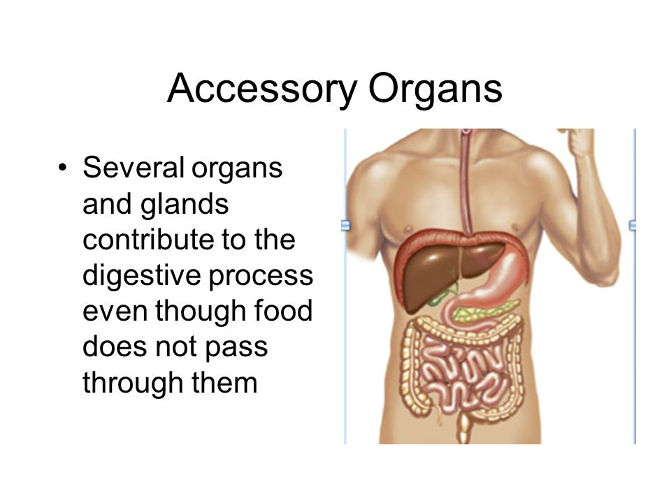 Accessory Organs Several organs and glands contribute to the digestive process even though food does not pass through them.