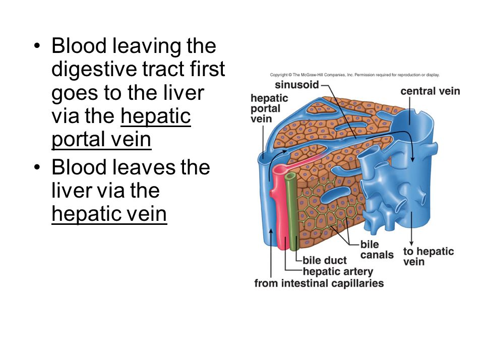 Blood leaving the digestive tract first goes to the liver via the hepatic portal vein