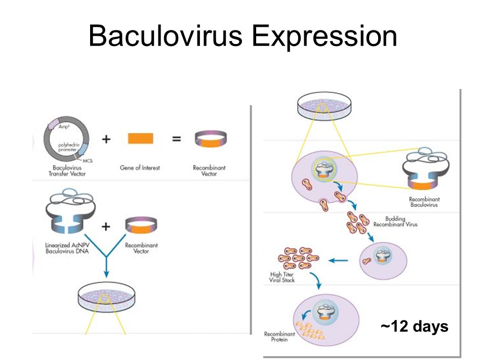 Native protein in baculovirus