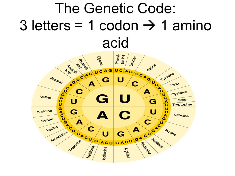 The Genetic Code: 3 letters = 1 codon  1 amino acid