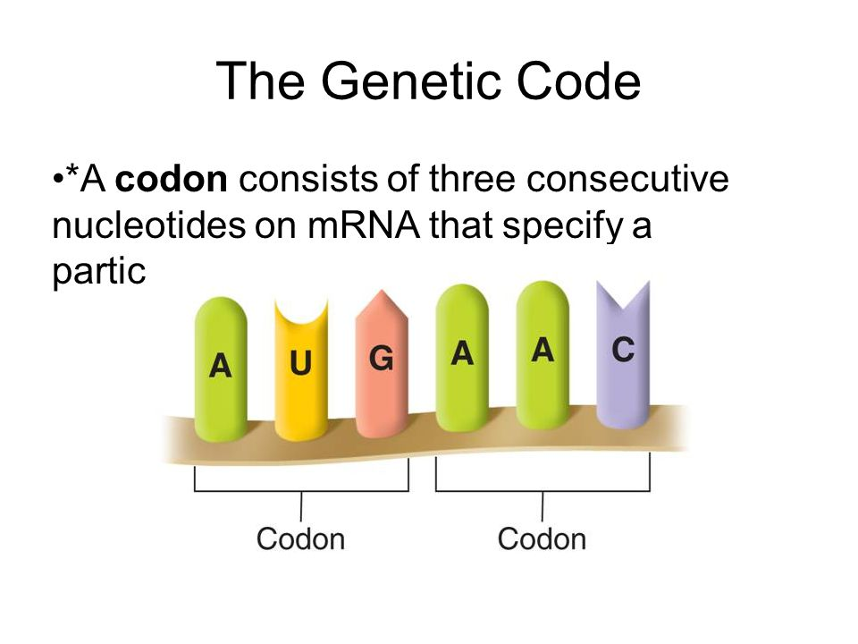 The Genetic Code *A codon consists of three consecutive nucleotides on mRNA that specify a particular amino acid.