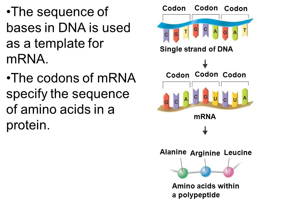 The sequence of bases in DNA is used as a template for mRNA.