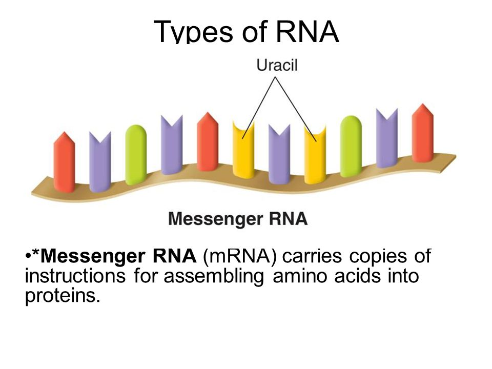 Types of RNA The three main types of RNA are messenger RNA, ribosomal RNA, and transfer RNA.