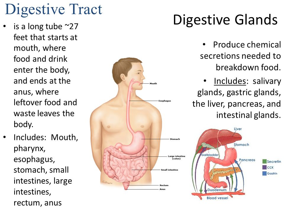Digestive system in order from mouth to anus