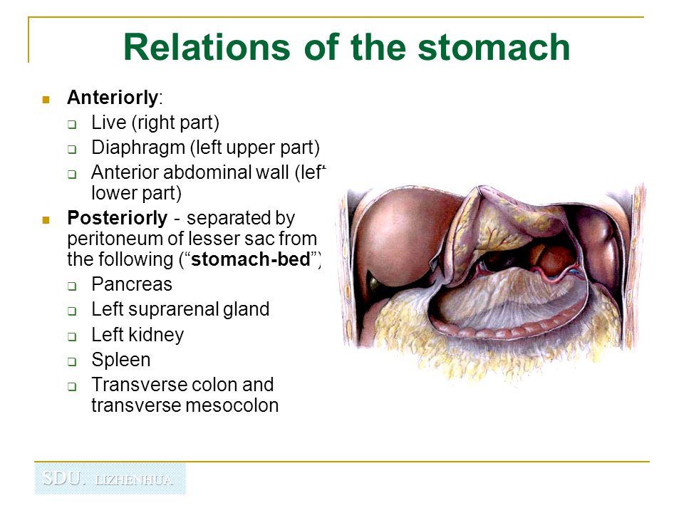 Regional Anatomy Of Abdomen Ppt Video Online Download