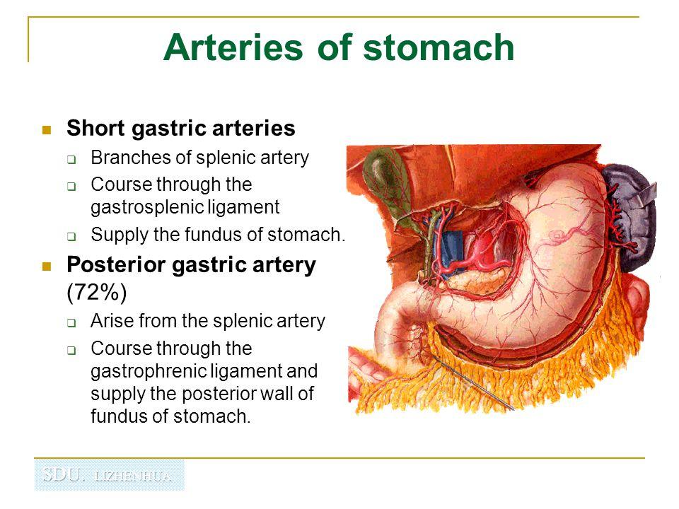 Gastric Fundus Anatomy Choice Image - human body anatomy