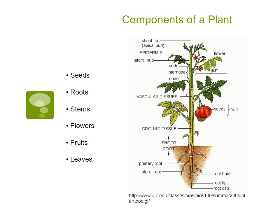 Root stem plant diagram wiring diagram for light switch seeds and plants ppt video online download rh slideplayer com parts of a plant stem corn plant diagram ccuart Choice Image