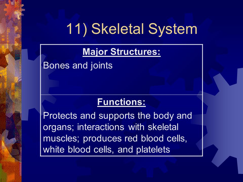 11) Skeletal System Major Structures: Bones and joints Functions:
