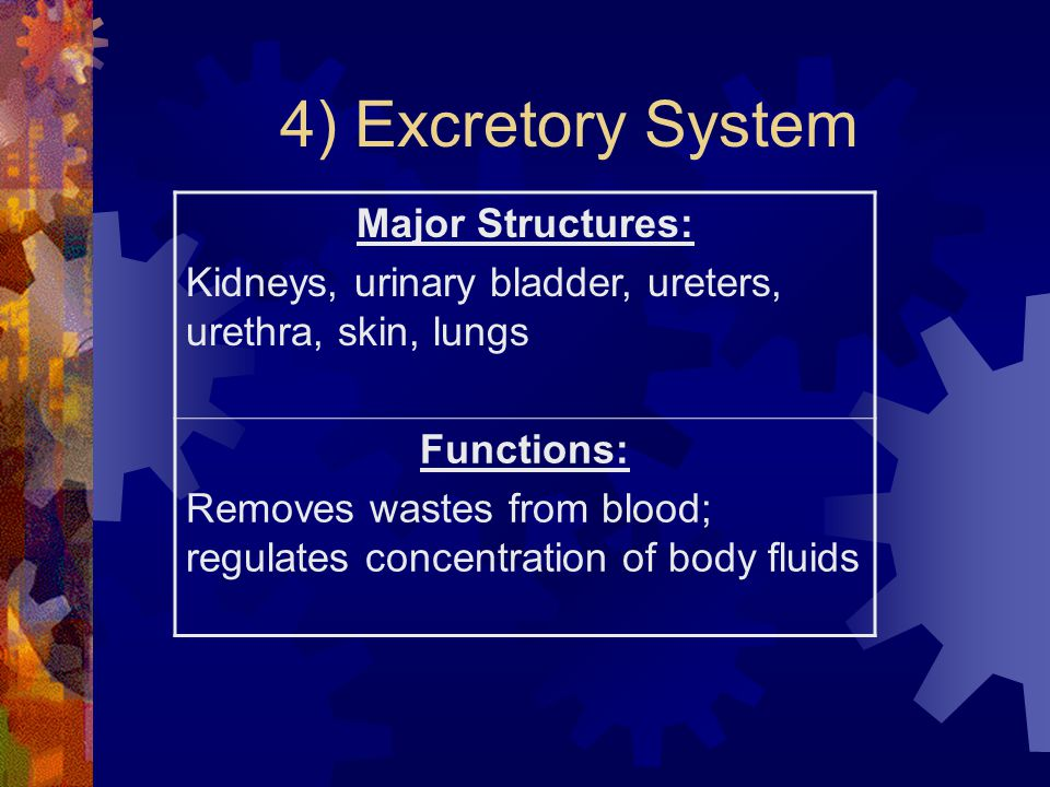 4) Excretory System Major Structures: