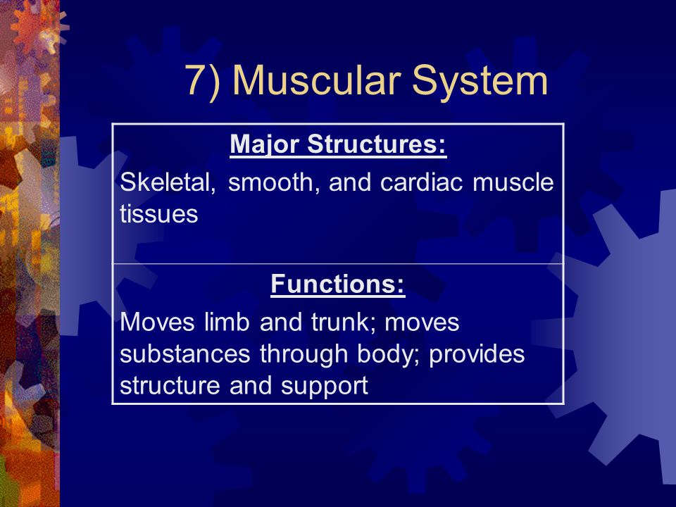 7) Muscular System Major Structures: