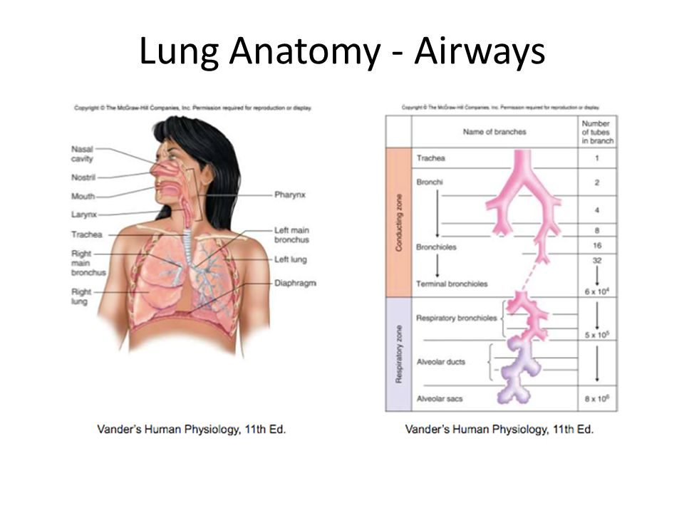 Respiration, Breathing Mechanics and Lung Function - ppt video ...