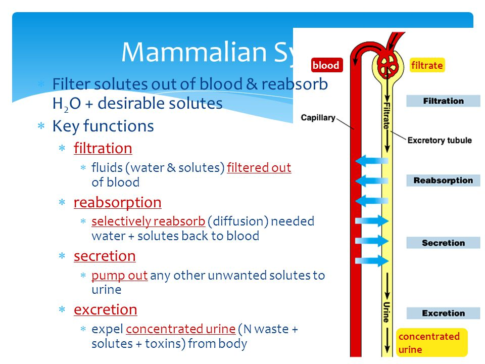 Mammalian System blood. filtrate. Filter solutes out of blood & reabsorb H2O + desirable solutes.