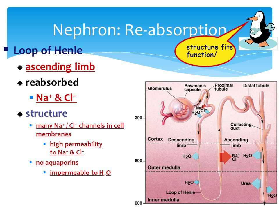 Nephron: Re-absorption