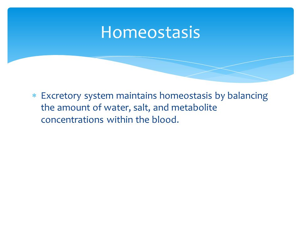 Homeostasis Excretory system maintains homeostasis by balancing the amount of water, salt, and metabolite concentrations within the blood.