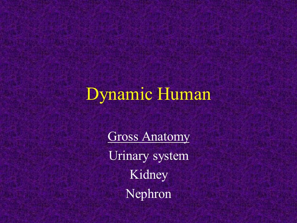 Gross Anatomy Urinary system Kidney Nephron