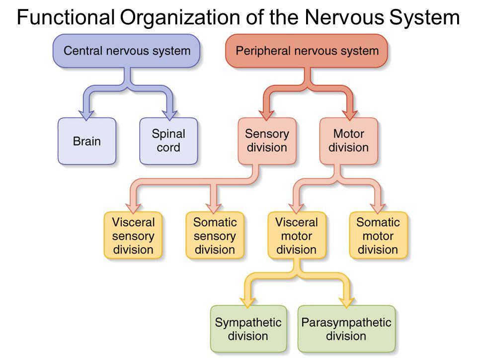 Organization of nervous system diagram wiring diagram database anatomical organization of the nervous system ppt download rh slideplayer com nervous system diagram blank human nervous system diagram labeled ccuart Gallery