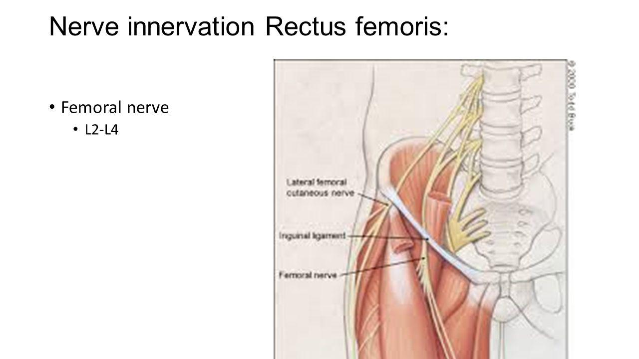 nerve innervation rectus femoris: