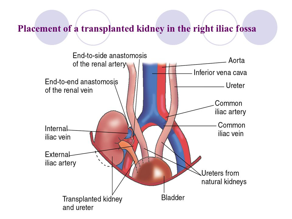 Renal Fossa Anatomy Images Human Body Anatomy