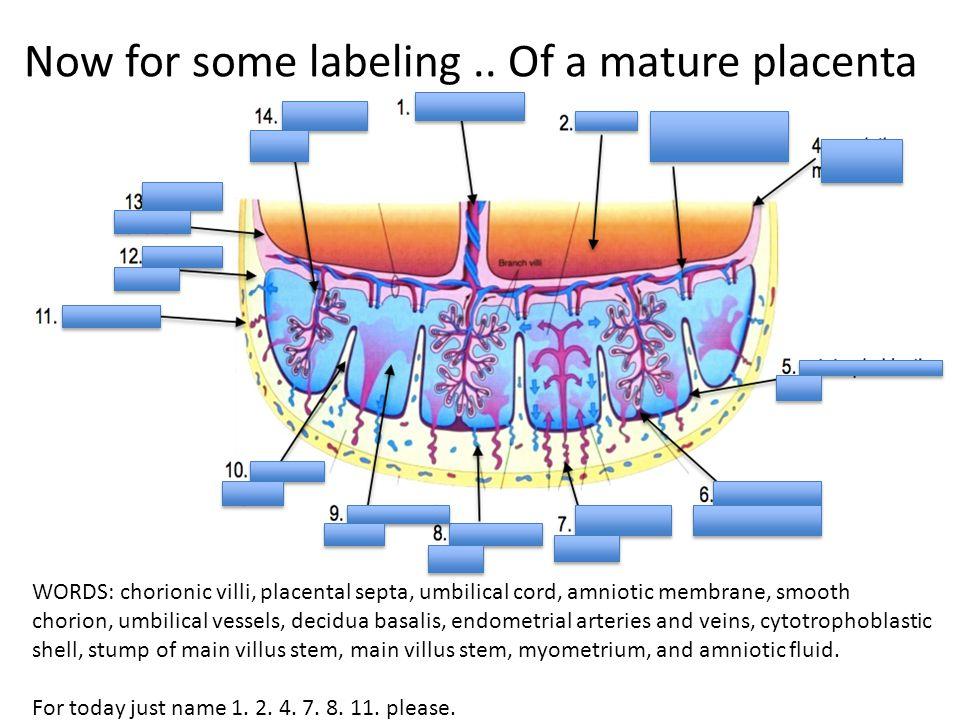 Placenta Diagram Labeled