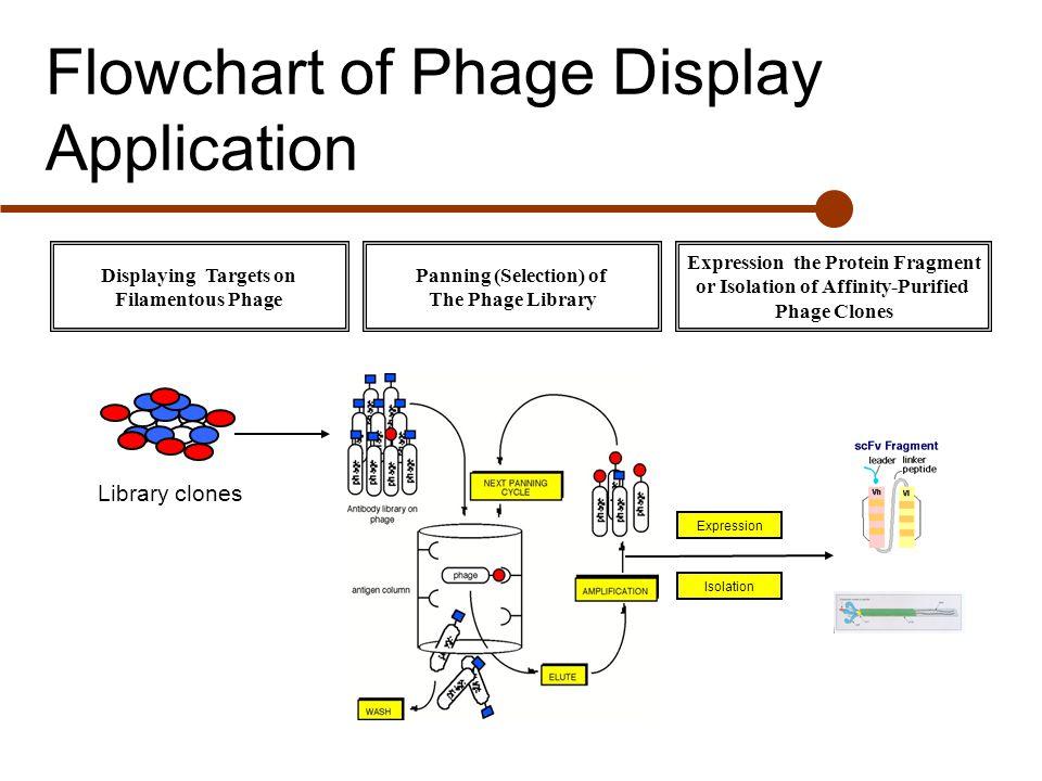 Monoclonal antibody Phage displayed antibody - ppt video ...