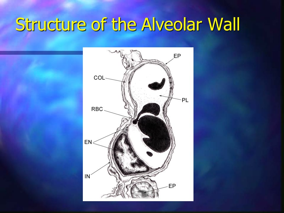 Structure of the Alveolar Wall