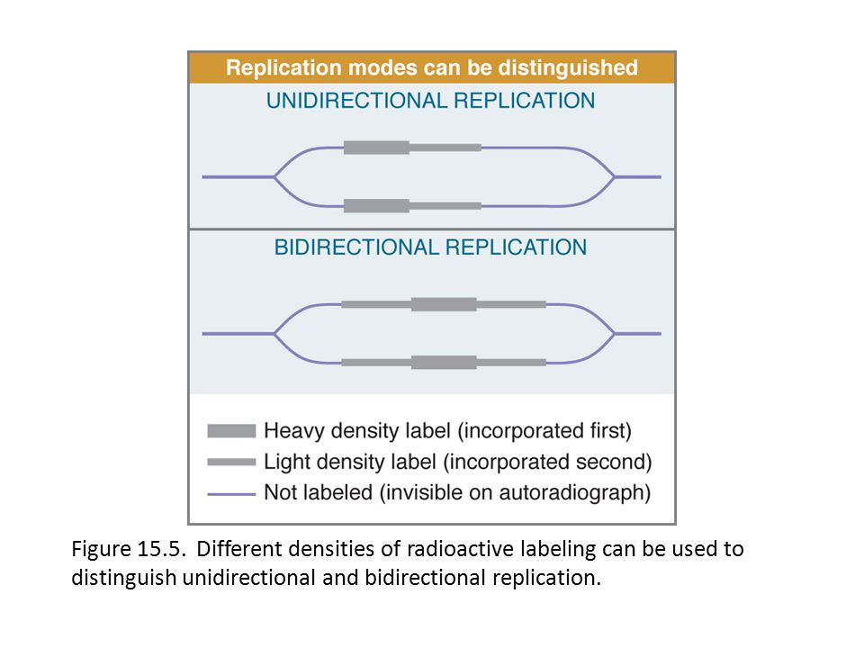 Eukaryotic Dna Replication Ppt Download