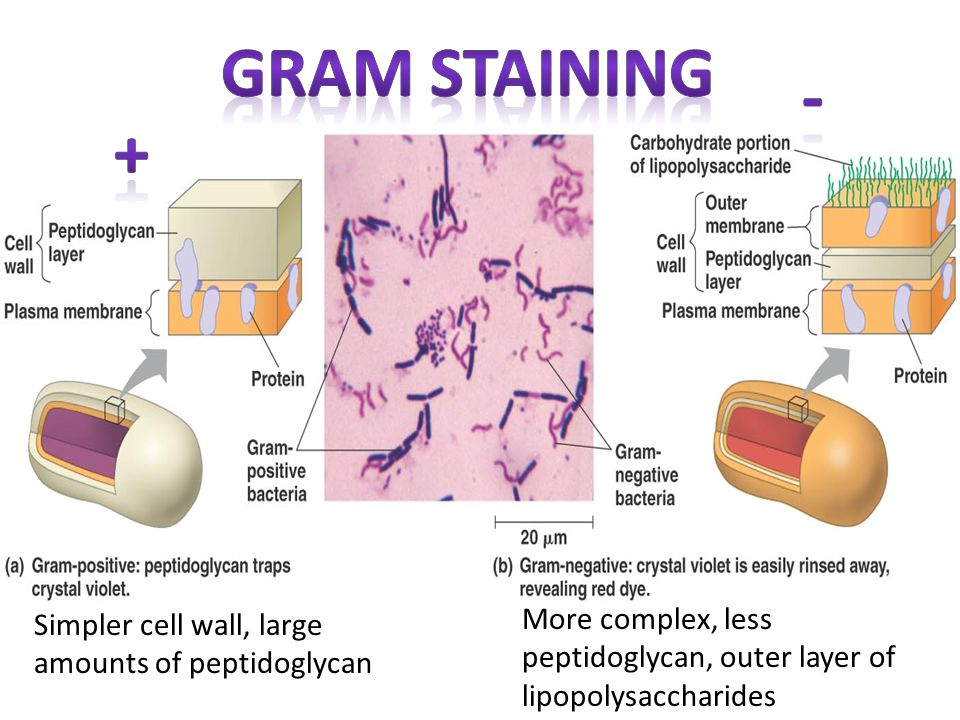 Gram Staining - + More complex, less peptidoglycan, outer layer of lipopolysaccharides.