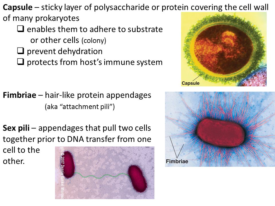 Capsule – sticky layer of polysaccharide or protein covering the cell wall of many prokaryotes