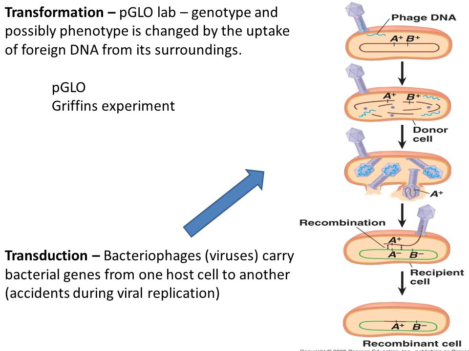 Transformation – pGLO lab – genotype and