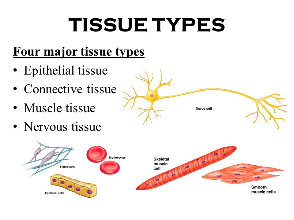 TISSUES. - ppt download