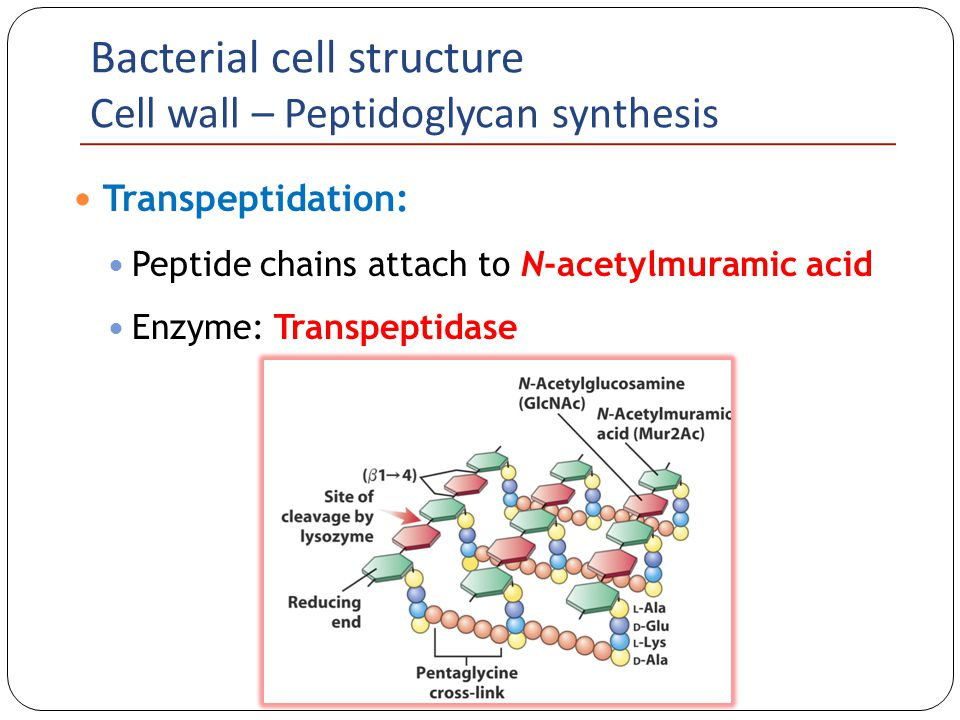 Bacterial Cell Structure - ppt video online download