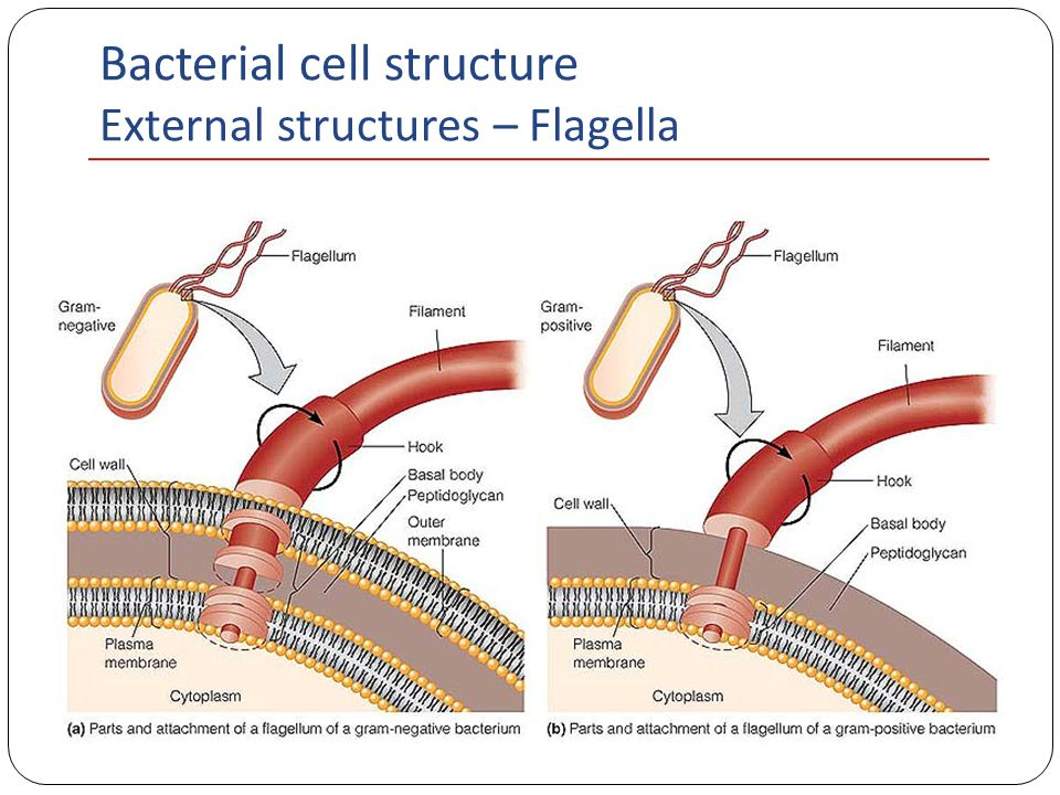 Bacteria cell diagram parts auto electrical wiring diagram bacterial cell structure ppt video online download rh slideplayer com bacterial cell diagram endotoxins bacterial cell diagram endotoxins ccuart Image collections
