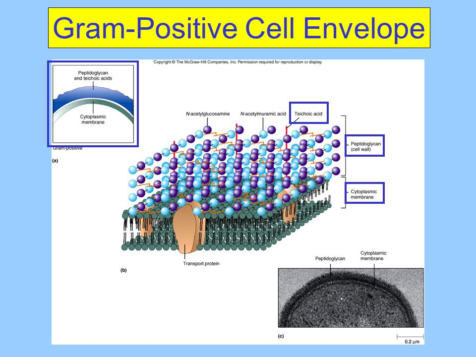 Gram-Positive Cell Envelope
