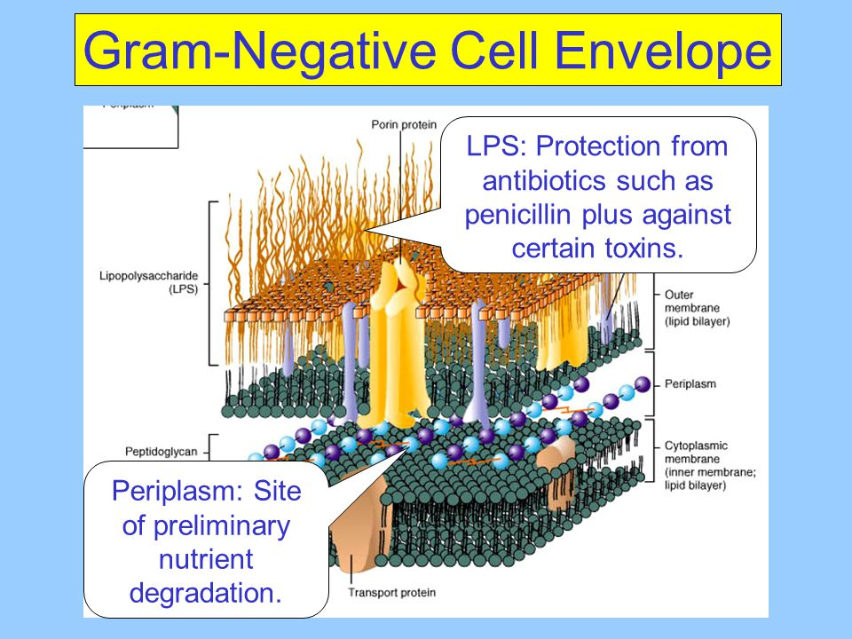 Gram-Negative Cell Envelope
