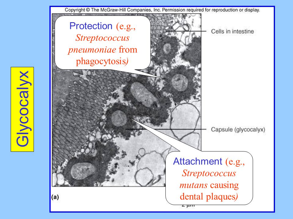 Protection (e.g., Streptococcus pneumoniae from phagocytosis)