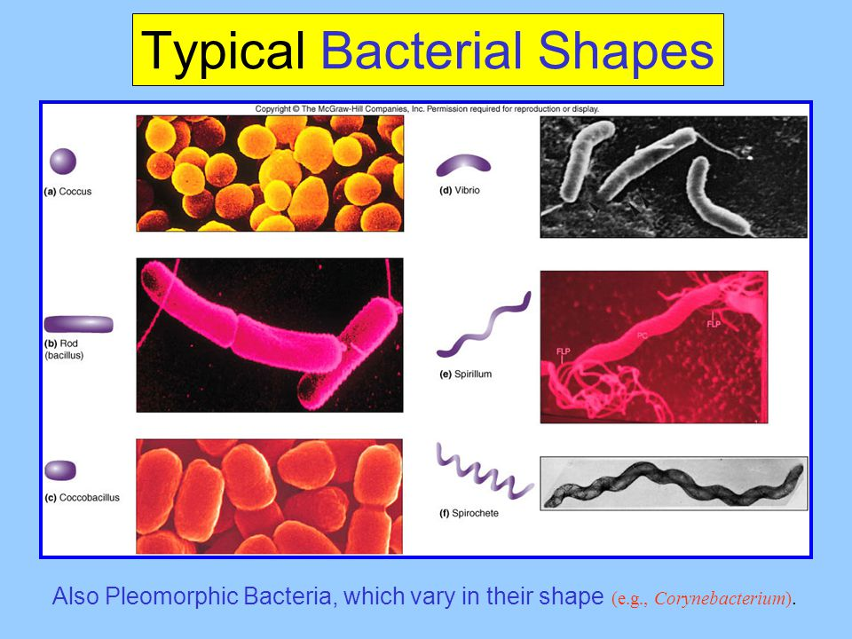 Typical Bacterial Shapes