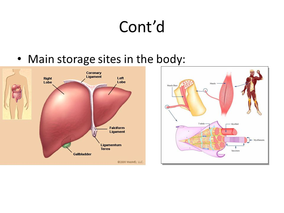 Cont'd Main storage sites in the body: