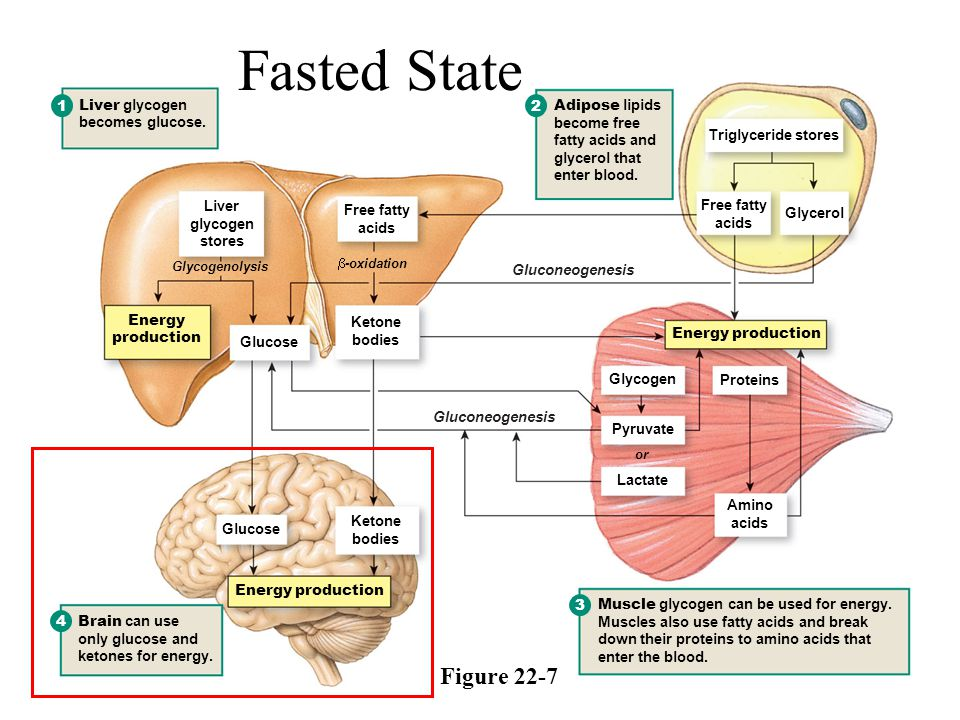 Fasted State Figure Liver glycogen becomes glucose. 2