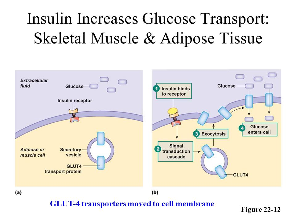 Insulin Increases Glucose Transport: Skeletal Muscle & Adipose Tissue