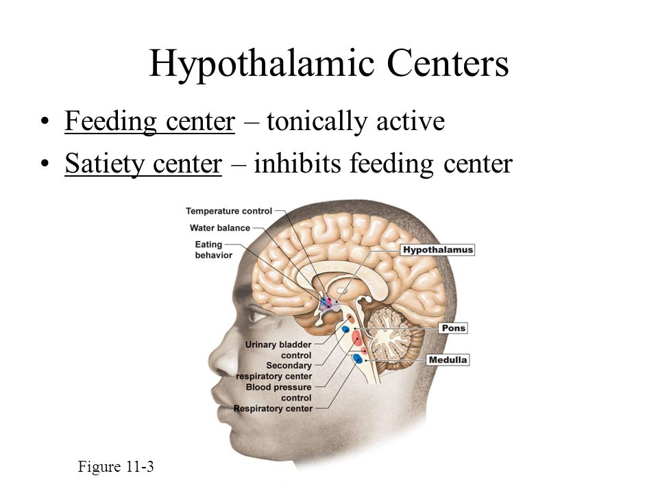Hypothalamic Centers Feeding center – tonically active