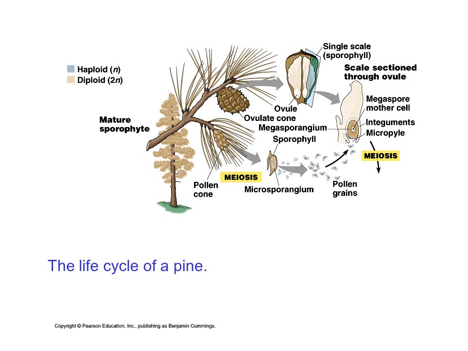The life cycle of a pine.