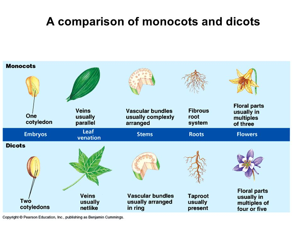 A comparison of monocots and dicots